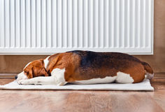 Dog resting near a warm radiator royalty free stock image
