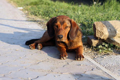 Dog. Resting outdoors in the sun Stock Image