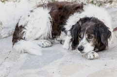 Dog resting pacefully on the ground royalty free stock image