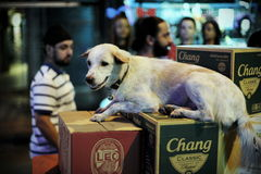 Dog Resting. A dog rests on beer boxes on Khao San Road on June 2, 2012 in Bangkok, Thailand. Khao San Road is a popular nightlife destination with both locals Royalty Free Stock Photos