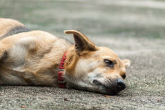 Dog Resting on the Road. Outside a coffee shop Stock Photos