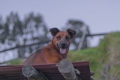 Dog resting on the roof of a farm stock images