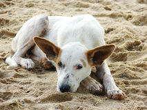 Dog resting in the sand. White dog resting in the beach sand Stock Images