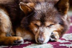 Dog Resting Stock Photos