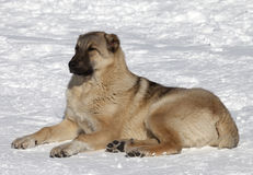 Dog resting in snowy ski slope Royalty Free Stock Images