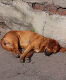 Dog resting Royalty Free Stock Photo