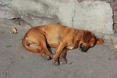 Dog resting Stock Image