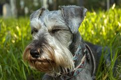 Dog resting in the sun. A miniature schnauzer dog resting in the sunlit backyard grass royalty free stock photography