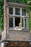 Dog resting on a window royalty free stock image