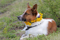 Dog resting with a wreath of yellow flowers Royalty Free Stock Photo