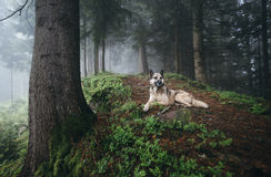 Dog rests on the path in the forest royalty free stock images