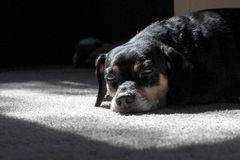 Dog rests in spot of sunshine Stock Photo