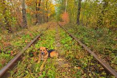 The dog rests on the tracks. A railway in the autumn forest. Famous Tunnel of love formed by trees. Klevan, Rivnenska obl. Ukraine.  Royalty Free Stock Photo