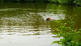 Dog retrieve stick. Golden Retriever dog jump and swimming in waters of lake just head stock footage