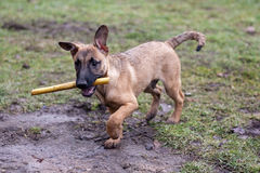 Dog retrieving. A piece of wood Stock Image