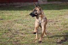 Dog retrieving Stock Image