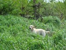 Dog retrieving Stock Photography