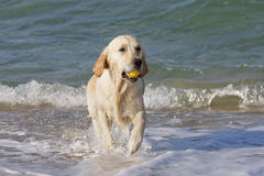 Dog retrieving a ball. Golden retriever coming out of the water with a small yellow ball in his mouth Royalty Free Stock Images