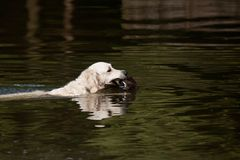 Dog retrieving duck from water Royalty Free Stock Photography