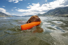 Dog retrieving dummy from water Stock Image