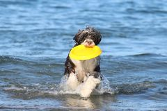 Dog Retrieving a Frisbee at the Beach. A Portuguese water dog playing with a frisbee at the beach royalty free stock images