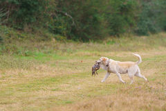 Dog retrieving pheasant. Dog retrieving male pheasant during a Pheasant hunt royalty free stock photography
