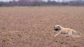 Dog retrieving a Pheasant. Dog retrieving male pheasant during a Pheasant hunt Stock Image