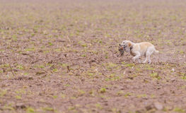 Dog retrieving pheasant. Dog retrieving male pheasant during a Pheasant hunt stock photo
