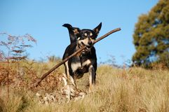 Dog retrieving a stick in Australian bush. Black dog retrieving a stick in Australian bush with blue sky in the background royalty free stock images