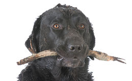 Dog retrieving a stick. Dirty dog with a stick in his mouth on white background stock photo