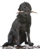 Dog retrieving a stick. Dirty dog with a stick in his mouth on white background stock images