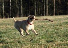 Dog retrieving a stick Stock Image