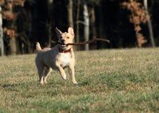 Dog retrieving a stick Royalty Free Stock Image