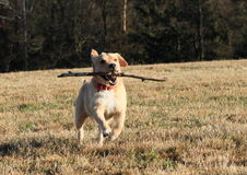 Dog retrieving a stick. Light dog running on meadow and retrieving wooden stick royalty free stock images