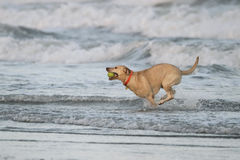 Dog Retrieving a Tennis Ball From the Ocean Royalty Free Stock Image