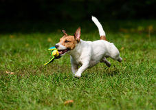 Dog retrieving a toy duck. Stock Images