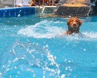 Dog Retrieving in Water Royalty Free Stock Image