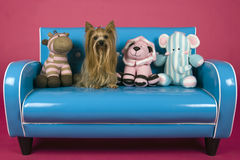 Dog on retro blue couch. Female Yorkshire terrier on miniature  blue retro couch Stock Image