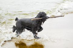 Dog returning with stick. From water stock image