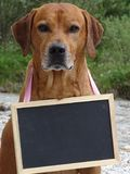 Dog Rhodesian ridgeback and chalkboard in nature. In the photo is a dog Rhodesian ridgeback with one chalkboard around his neck. Photography was made in nature Royalty Free Stock Images