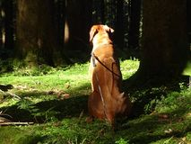 A dog, rhodesian ridgeback in the Forest. In the photo is a dog, rhodesian ridgeback in the forest. Photo was taken on the Wackersberg, Bavaria, Germany in Royalty Free Stock Image
