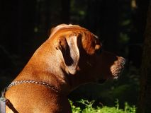 A dog, rhodesian ridgeback in the Forest. In the photo is a dog, rhodesian ridgeback in the forest. Photo was taken on the Wackersberg, Bavaria, Germany in Stock Photo