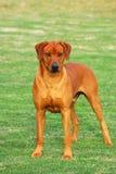Rhodesian Ridgeback dog full body stock images
