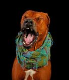 Dog Rhodesian Ridgeback funny yawning. Portrait. Stock Photography