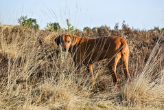 Dog Rhodesian Ridgeback Hidden In Tall grass royalty free stock images
