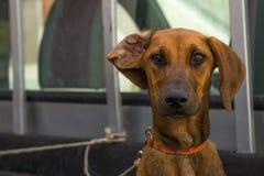Dog. Rhodesian Ridgeback. Stock Images