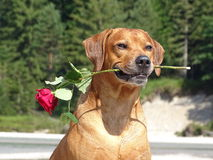A dog, rhodesian ridgeback with red rose. In the photo is a portrait of a dog, rhodesian ridgeback with red rose. Photo was made in summer near river Isar Royalty Free Stock Photo