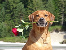 A dog, rhodesian ridgeback with red rose. In the photo is a portrait of a dog, rhodesian ridgeback with red rose. Photo was made in summer near river Isar Stock Photos