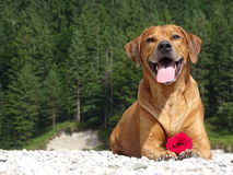 A dog, rhodesian ridgeback with red rose. In the photo is a portrait of a dog, rhodesian ridgeback with red rose. Photo was made in summer near river Isar Stock Image