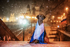 Dog Rhodesian Ridgeback and a Russian flag. On the background of a winter of Saint Basil's Cathedral at night, Red Square, Moscow, Russia Stock Photos